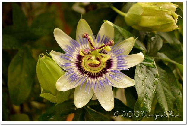 Passion Flower in Oregon