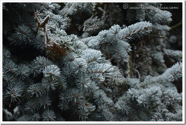 December Walk - Pine boughs with Frost