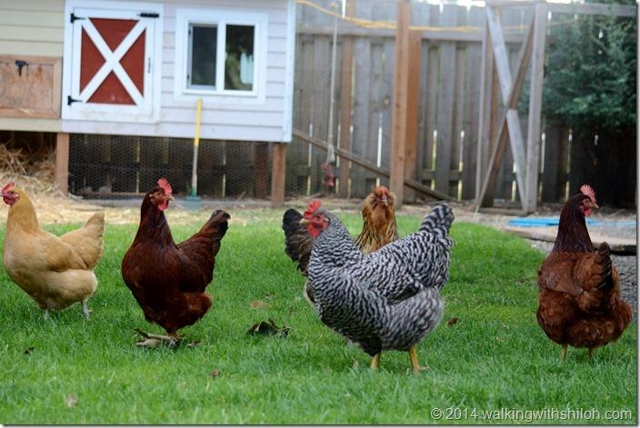 The Chicken Paparazzi
