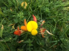 Eggs and Bacon, spotted by Eldest, or Birdsfoot Trefoil.