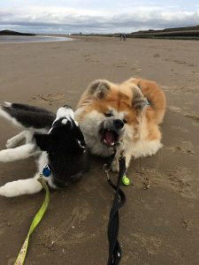 Akita and husky on the beach