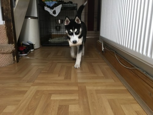 Husky steals toilet roll