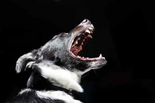 dog showing his teeth