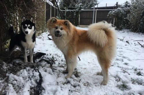 Husky and Akita in the snow