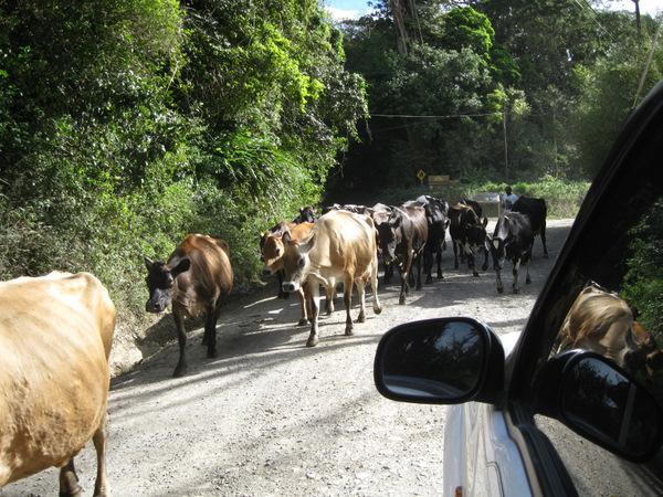 cow-jam