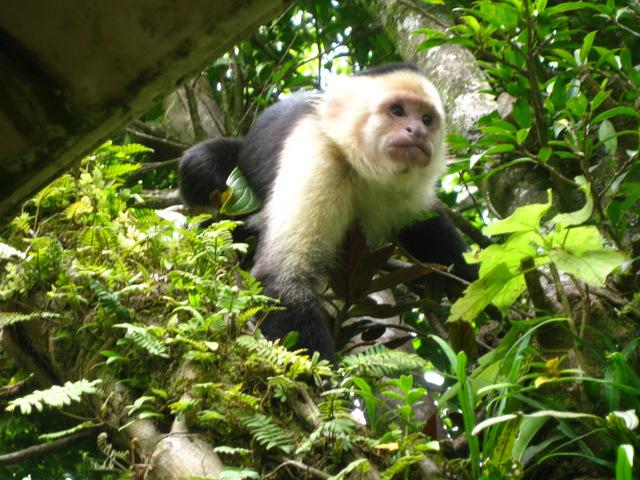 sneering monkey
