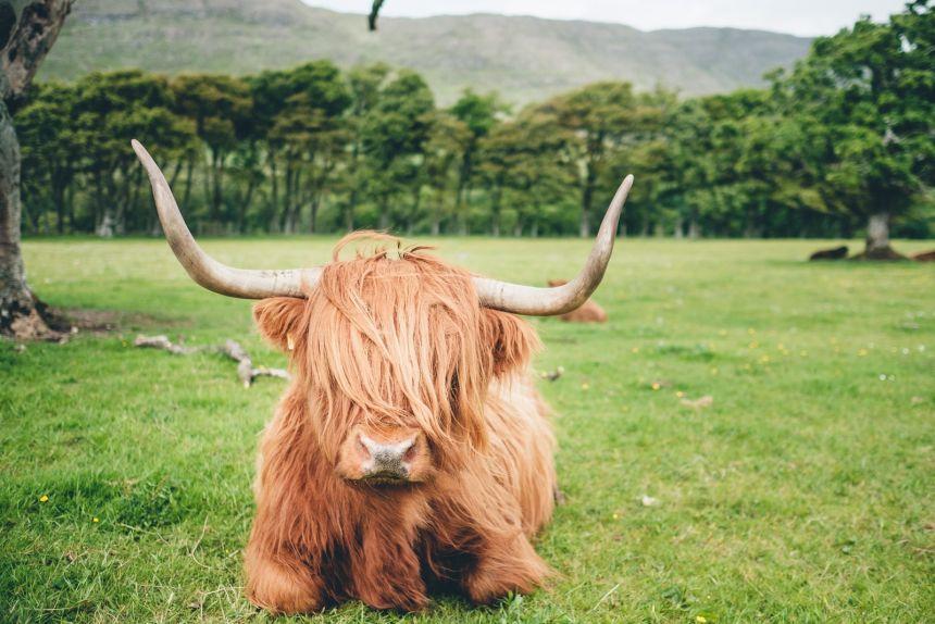 Scotland Applecross Highland Cow Resting