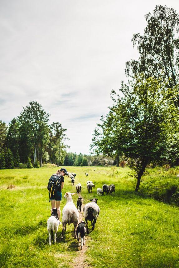 Stockholm Archipelago Fjardlang Sheep Anna