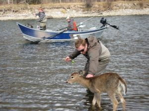 A baby deer visits a fly fisherman.
