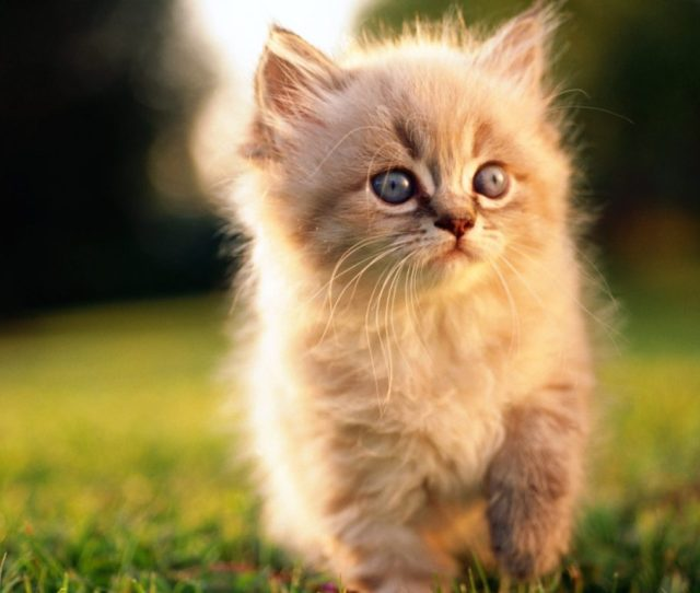 Persian Cats Wallpaper Hd About Animals