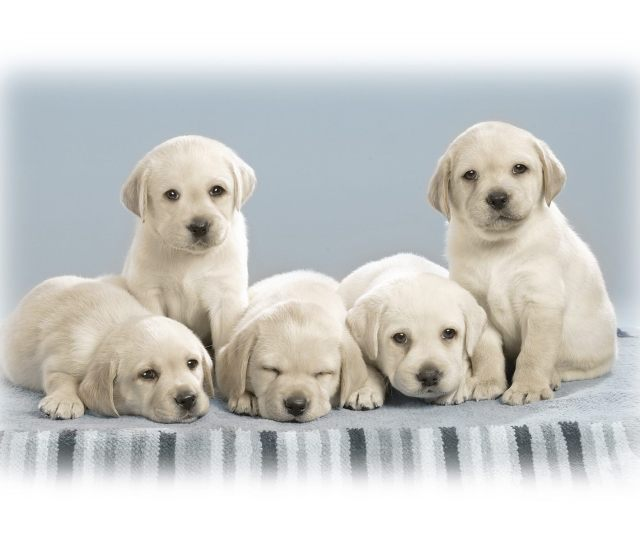 Desktop Hd Cute Puppies Wallpapers Free Download D Hd Pictures