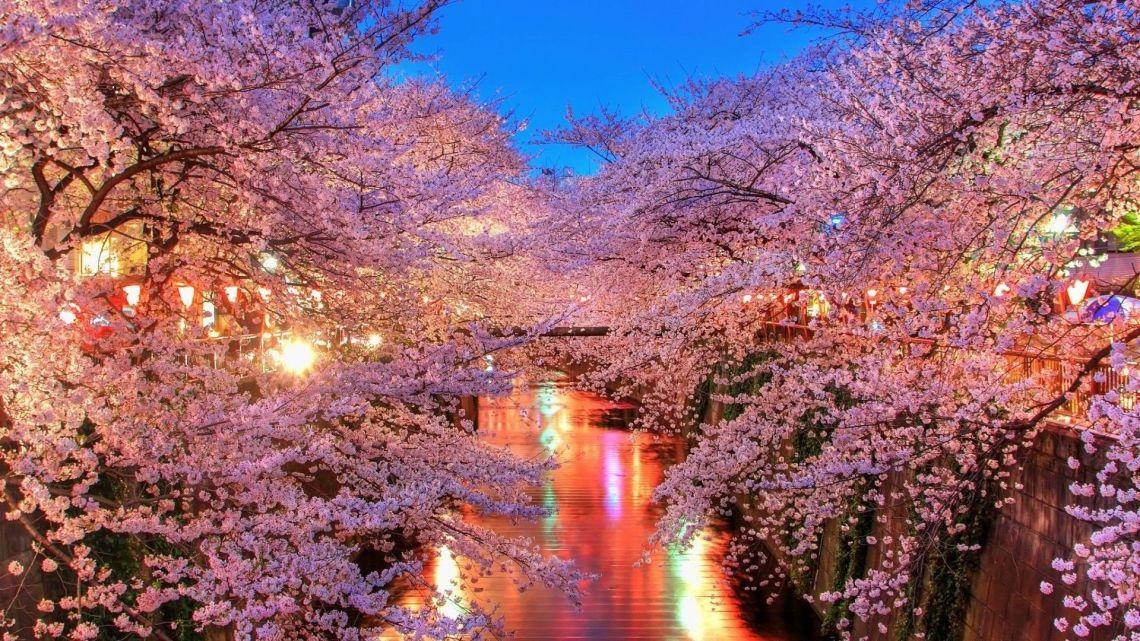 Japanese Cherry Blossom Wallpapers On Wallpaperdog