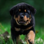 Rottweiler Wallpapers Top Free Rottweiler Backgrounds Wallpaperaccess