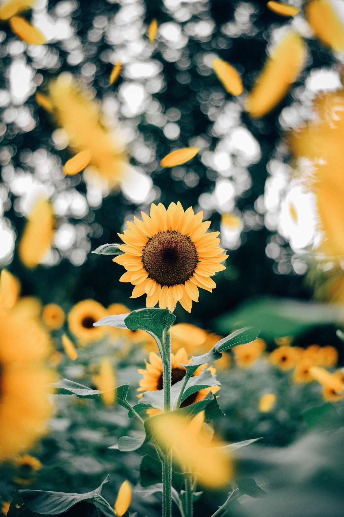 Vsco Sunflower Wallpapers Top Free Vsco Sunflower Backgrounds Wallpaperaccess
