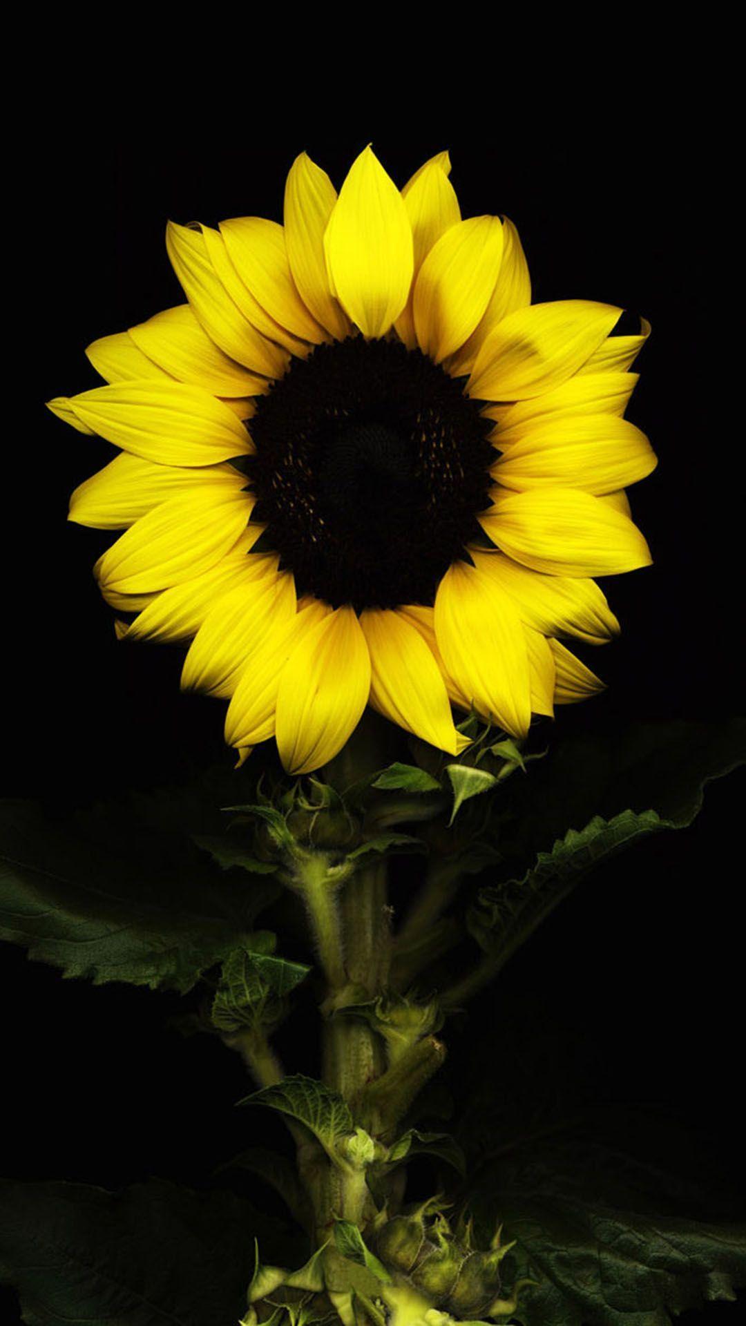 Black Sunflower Wallpapers Top Free Black Sunflower Backgrounds Wallpaperaccess