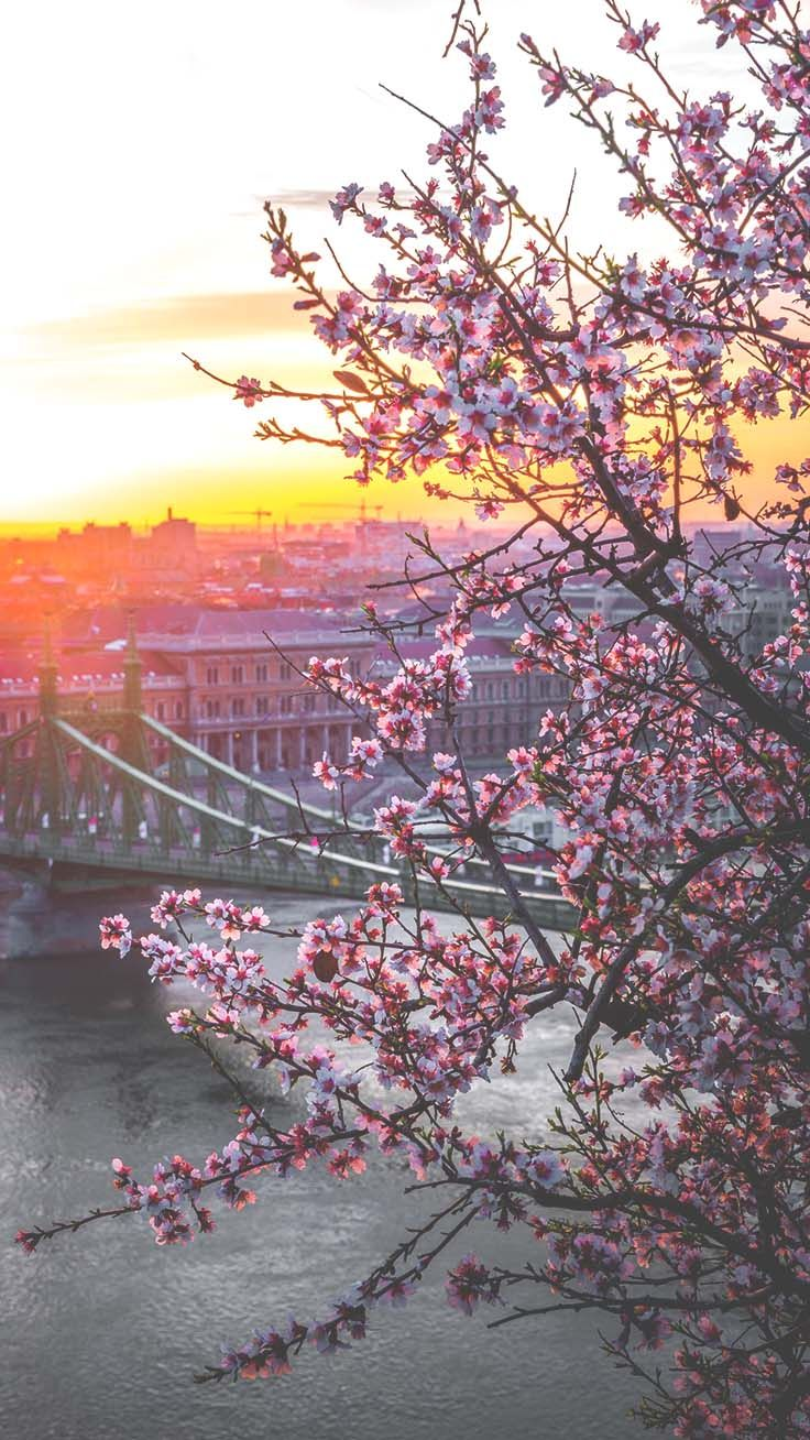Aesthetic Cherry Blossoms Wallpapers Top Free Aesthetic Cherry Blossoms Backgrounds Wallpaperaccess