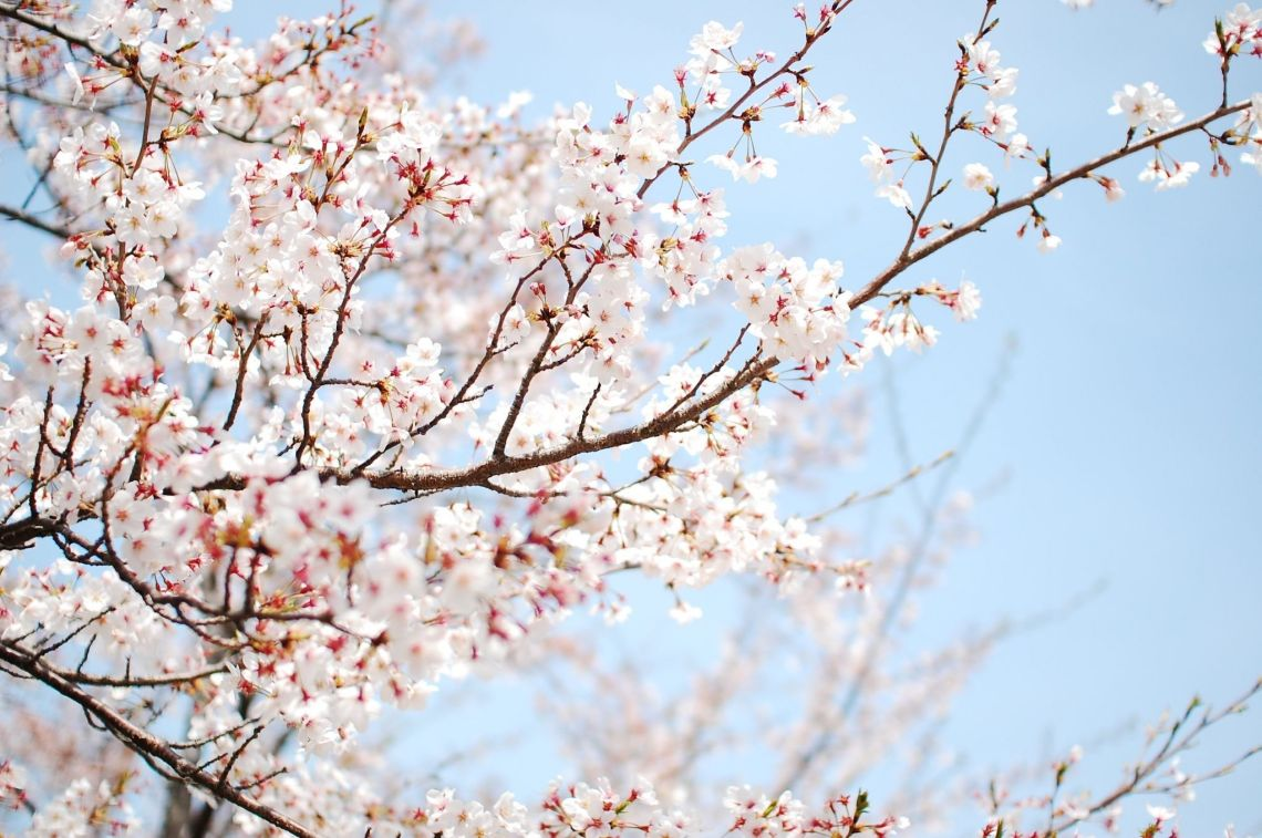 Cherry Blossom Laptop Wallpapers Top Free Cherry Blossom Laptop Backgrounds Wallpaperaccess