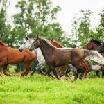 Wild Horses Running Wallpapers Top Free Wild Horses Running Backgrounds Wallpaperaccess