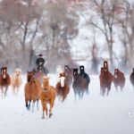 Horses In Snow Wallpapers Top Free Horses In Snow Backgrounds Wallpaperaccess