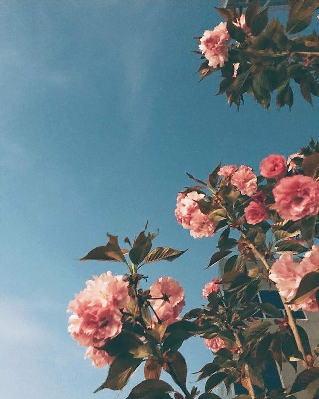 Aesthetic Pink Flower Wallpapers Top Free Aesthetic Pink Flower Backgrounds Wallpaperaccess