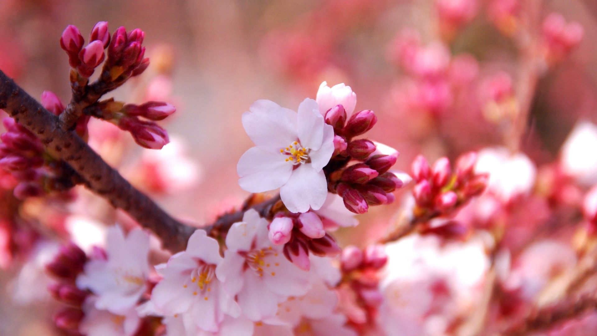 24 Sakura Flower Wallpapers For Desktop Wallpaperboat