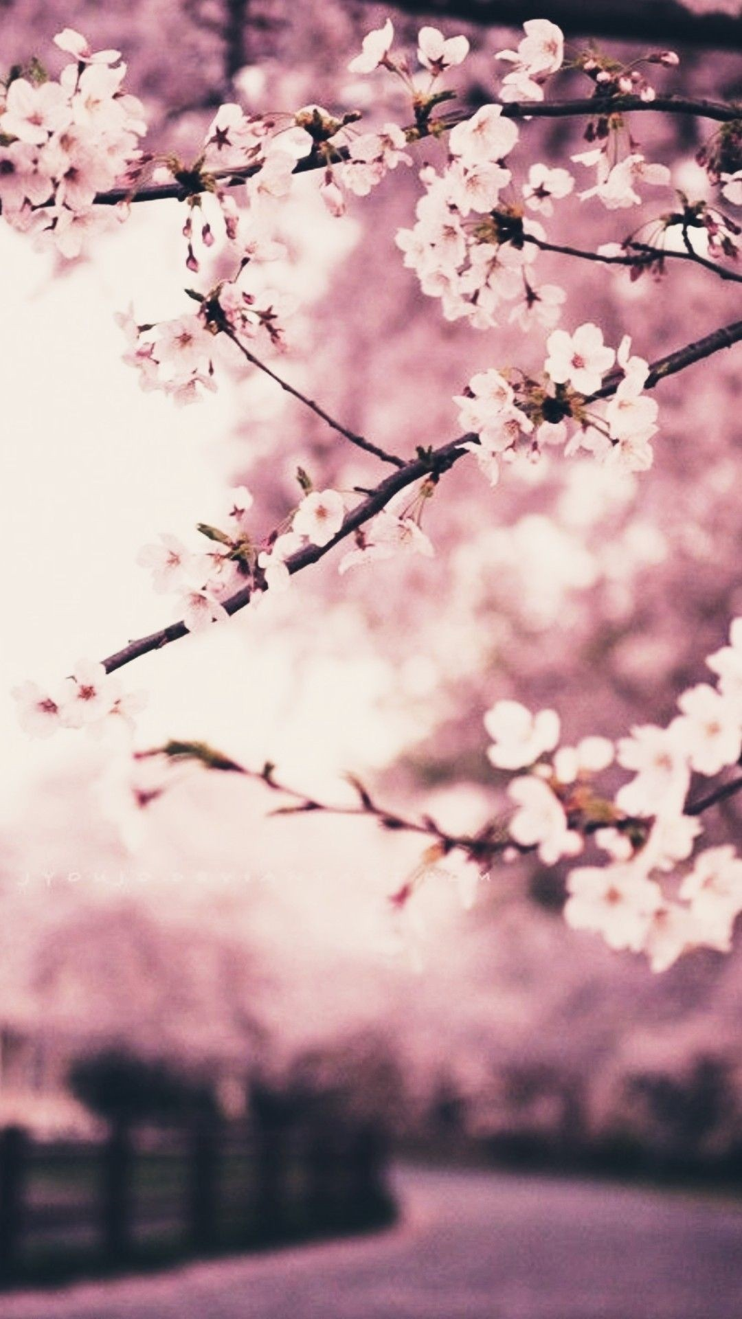 24 Cherry Blossom Iphone Wallpapers Wallpaperboat