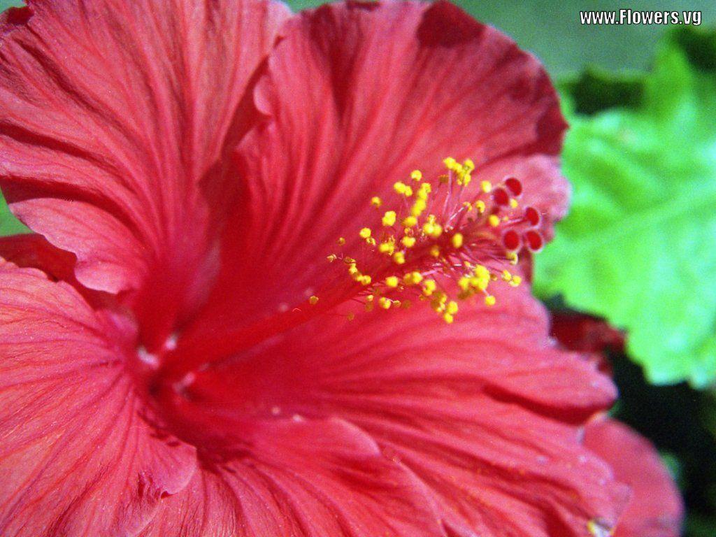 Hibiscus Flower Wallpapers