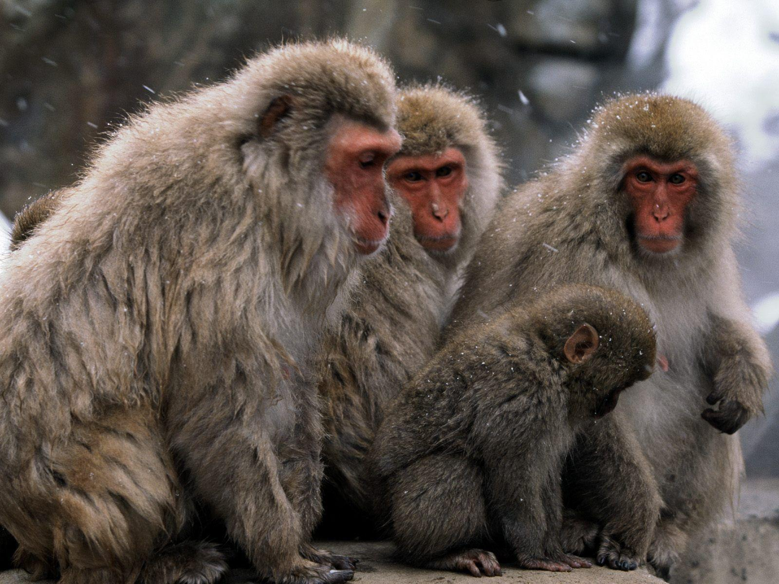monkey wallpapers - wallpaper cave