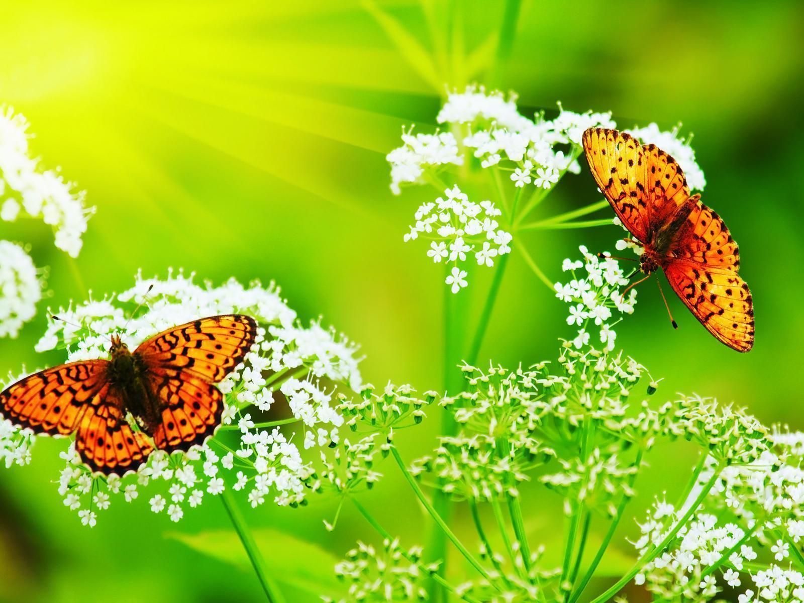 Butterfly Computer Wallpapers