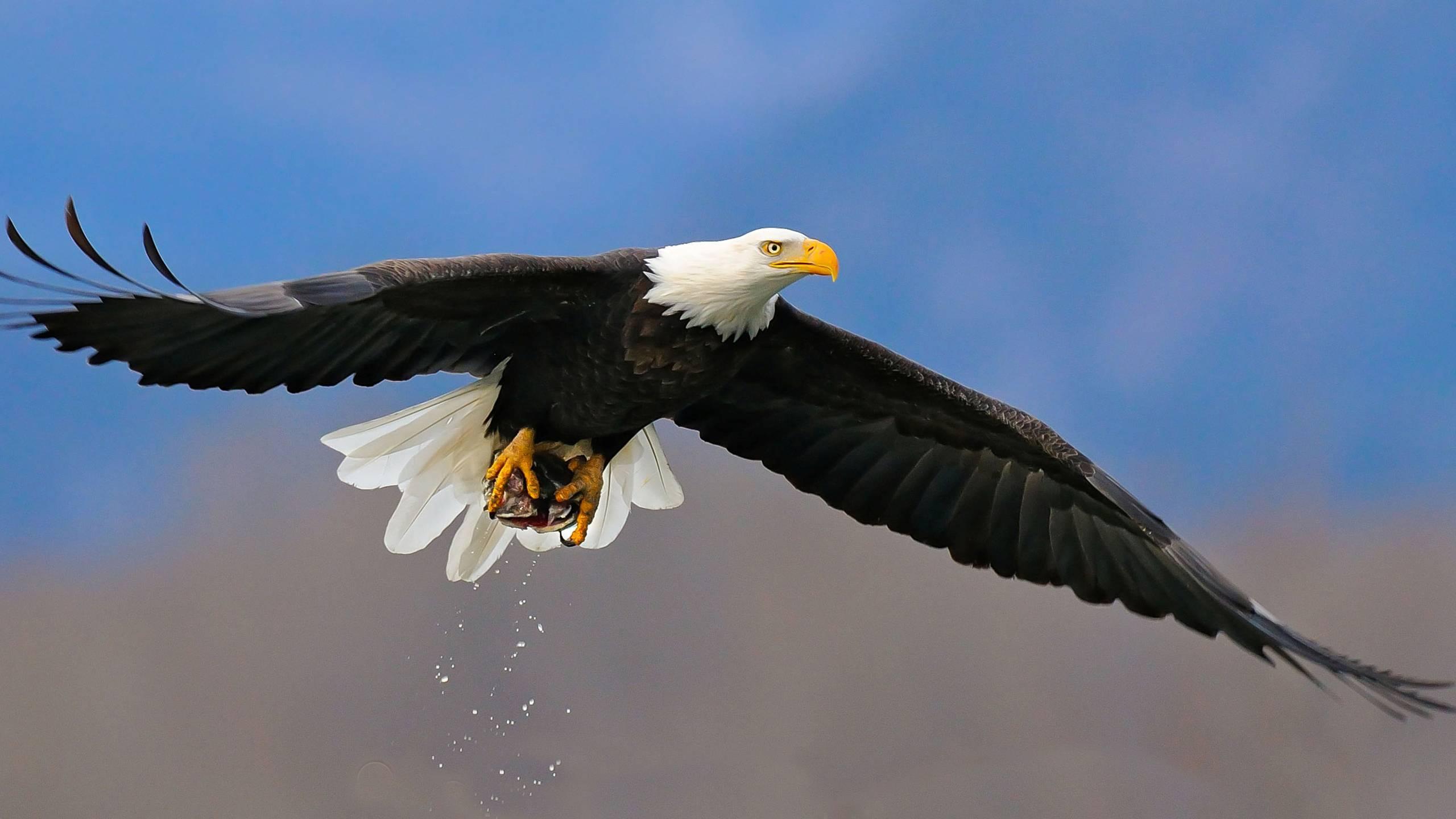 Free Bald Eagle Wallpapers
