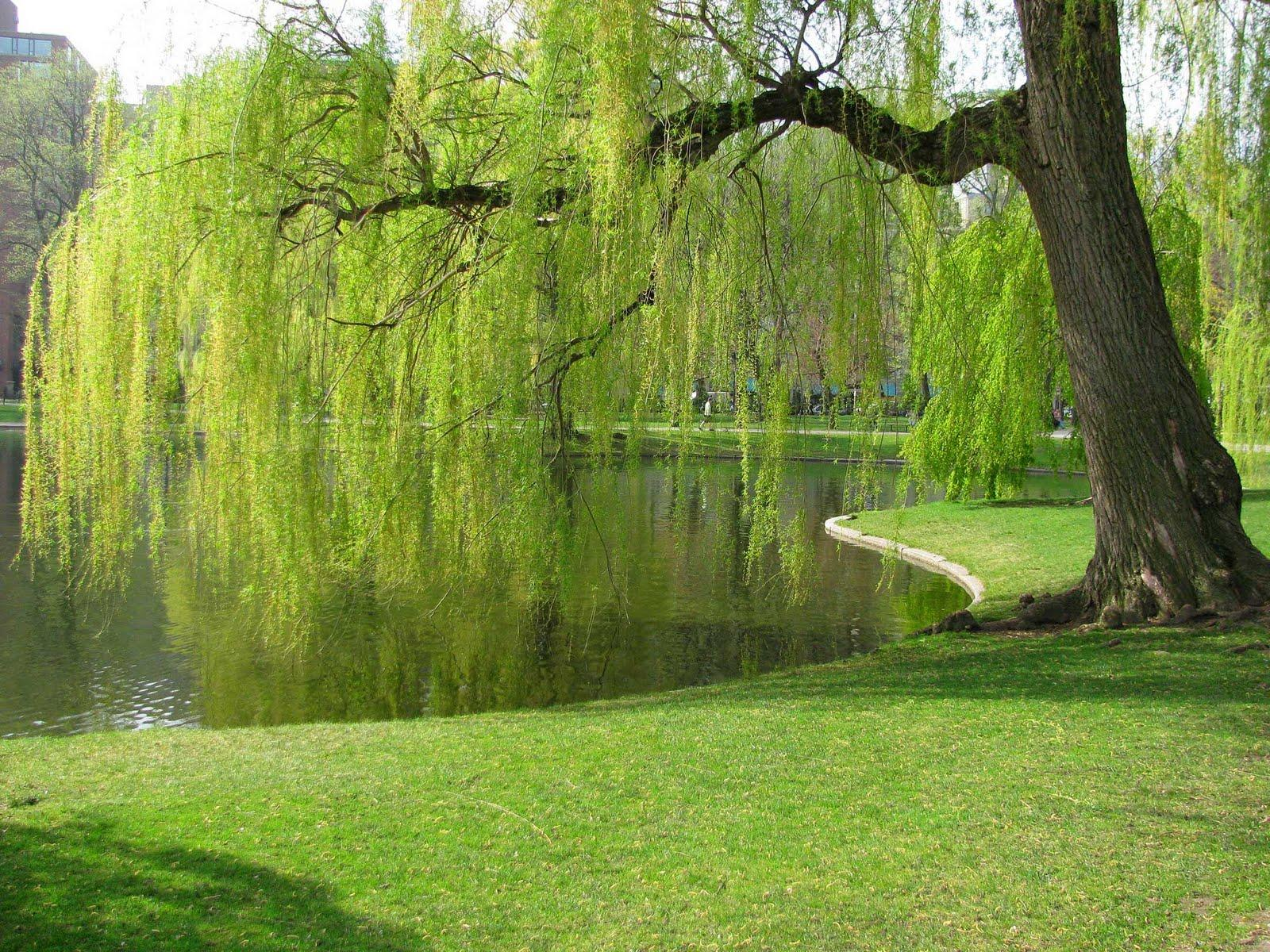 Image result for weeping willow