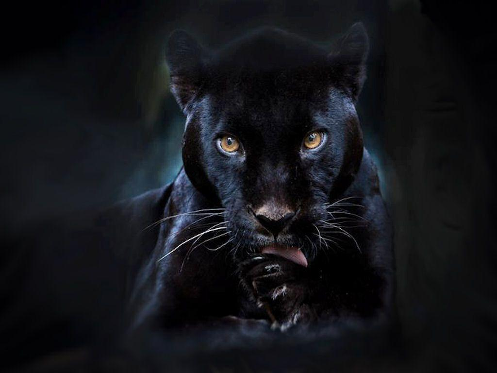 Wallpaper Black Panther Animal 3d ...