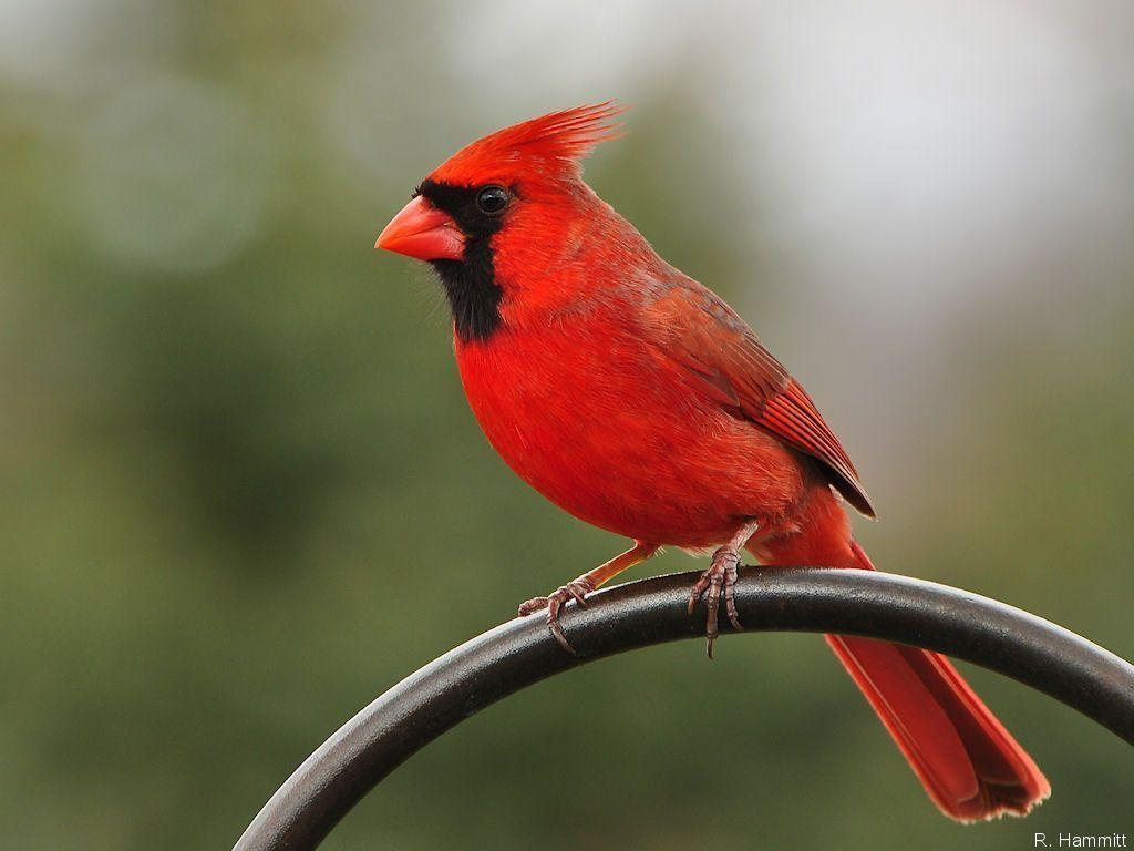 Cardinal Bird Wallpapers