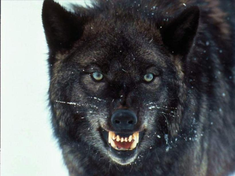 Hd Wolf Wallpapers Wallpaper Cave