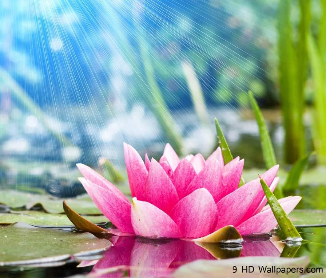 Lotus Flower In Hd Kayaflowerco