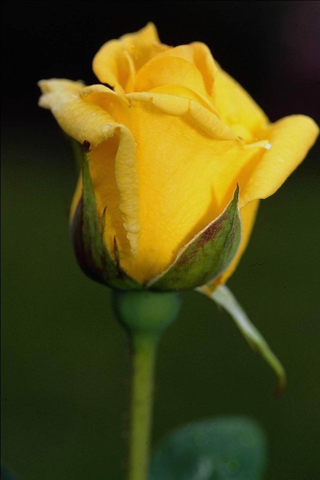 Beautiful Yellow Rose Images Hd Walljdi