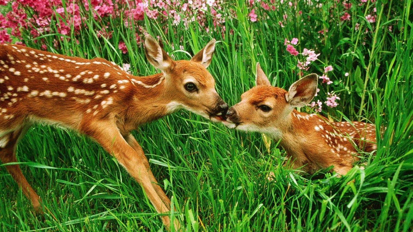Baby Deer Wallpapers Wallpaper Cave