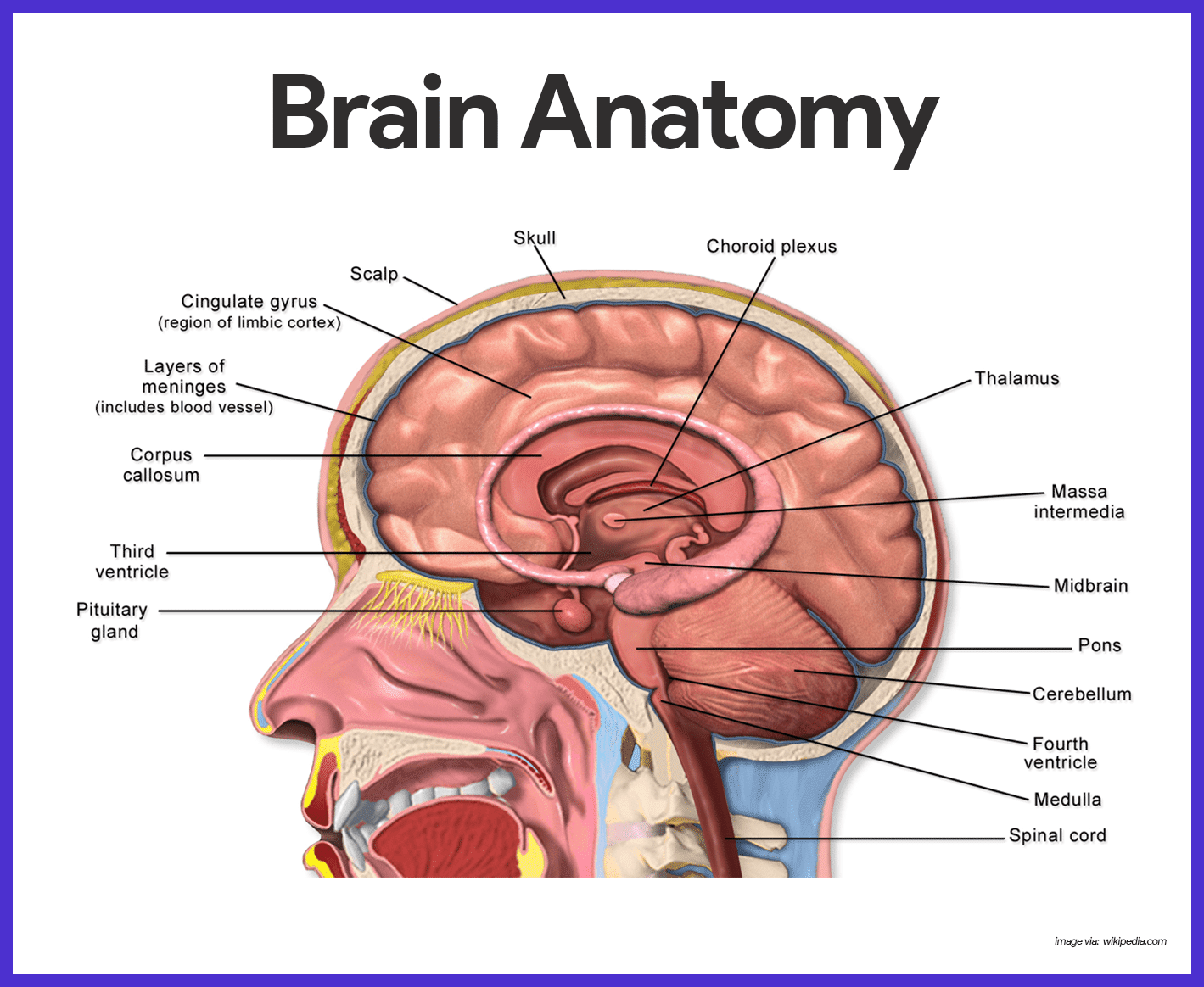 Brain Anatomy Wallpapers