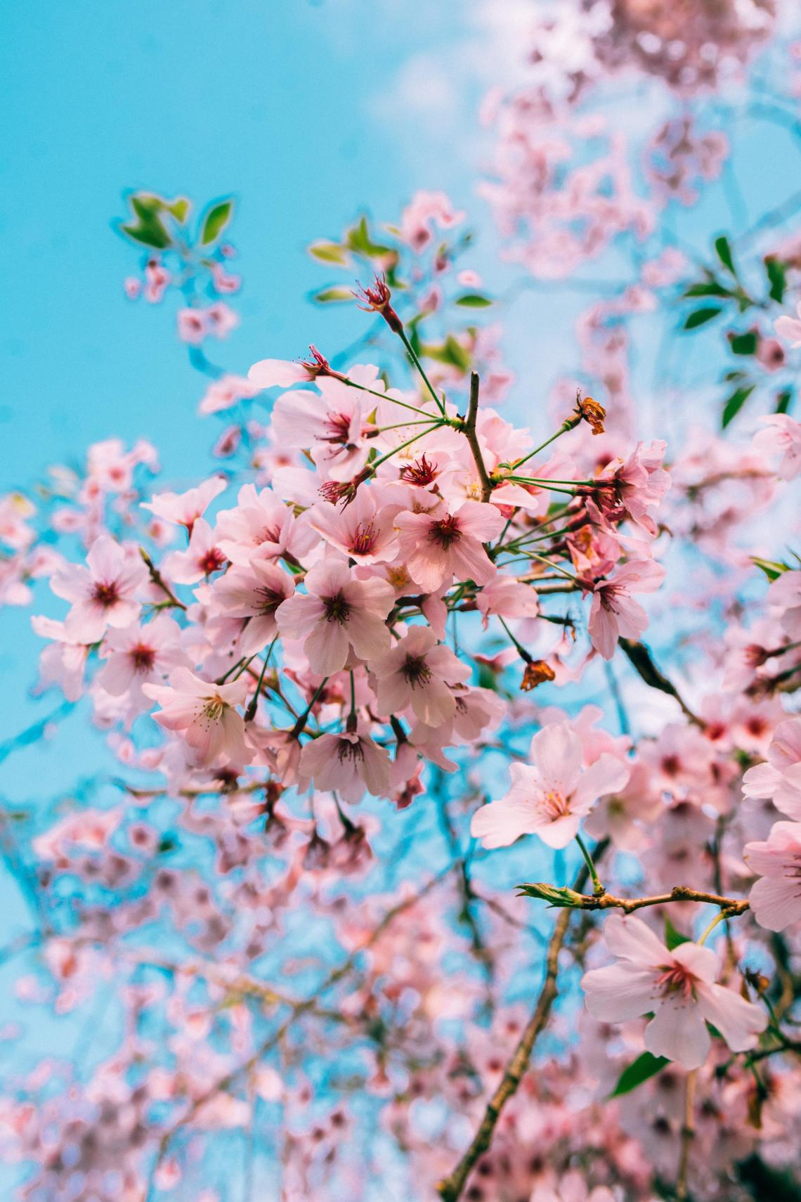 Aesthetic Cherry Blossom Wallpapers Wallpaper Cave