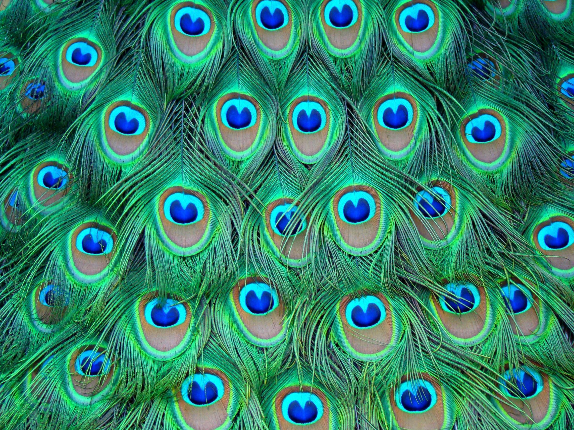 Wallpapers Of Peacock Feathers Hd