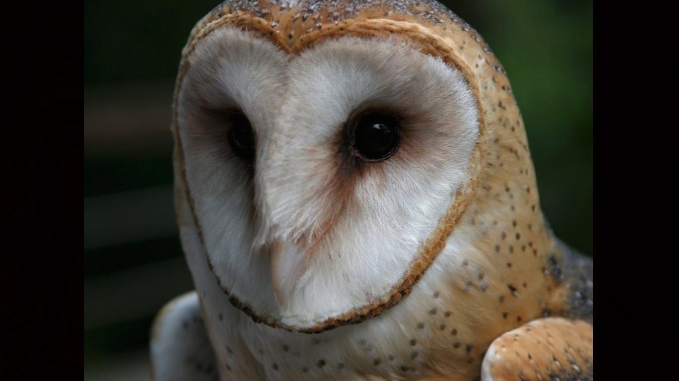 Barn Owl Wallpaper HD Download