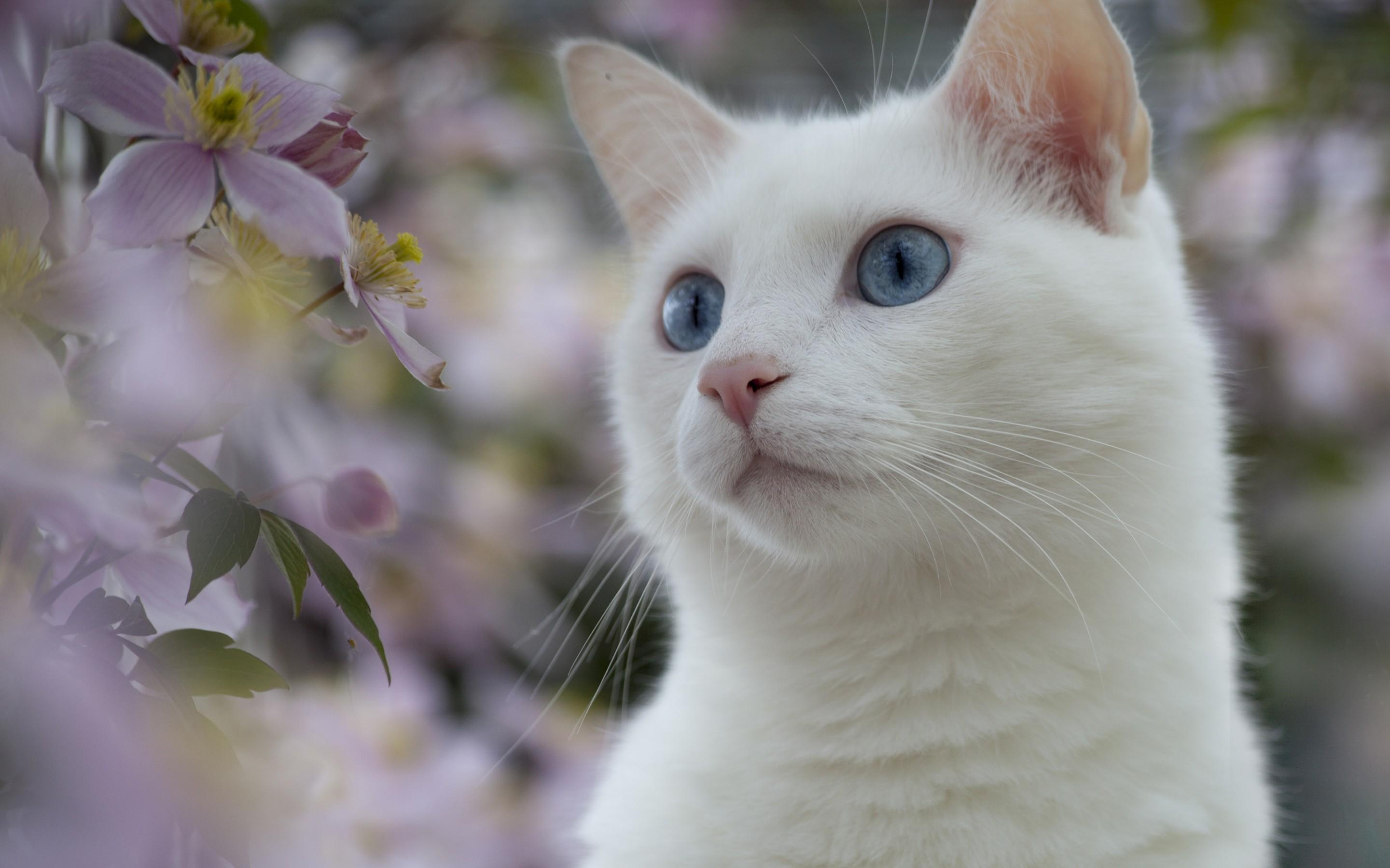 White cats wallpaper 8