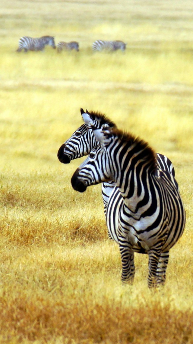 Wallpaper Zebra Savanna Cute Animals Animals 4525