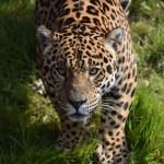 Download 1024x768 Wallpaper Predator Jaguar Wild Animal 1024x768 Standard 4 3 Fullscreen 1024x768 Hd Image Background 21501