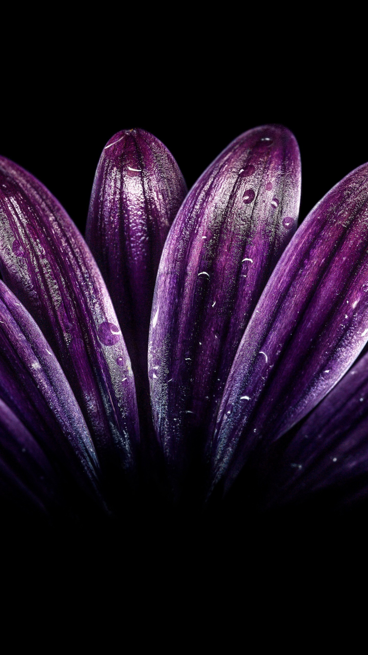 Download 750x1334 Wallpaper Petals Light Dark Purple Flower Close Up Drops Iphone 7 Iphone 8 750x1334 Hd Image Background 2059