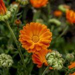 Desktop Wallpaper Orange Flowers Garden Flower Hd Image Picture Background 26b1c4
