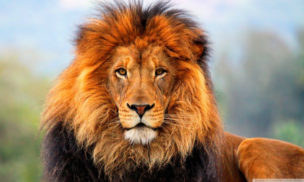 Lion HD desktop wallpaper : Widescreen : Fullscreen : Mobile ...