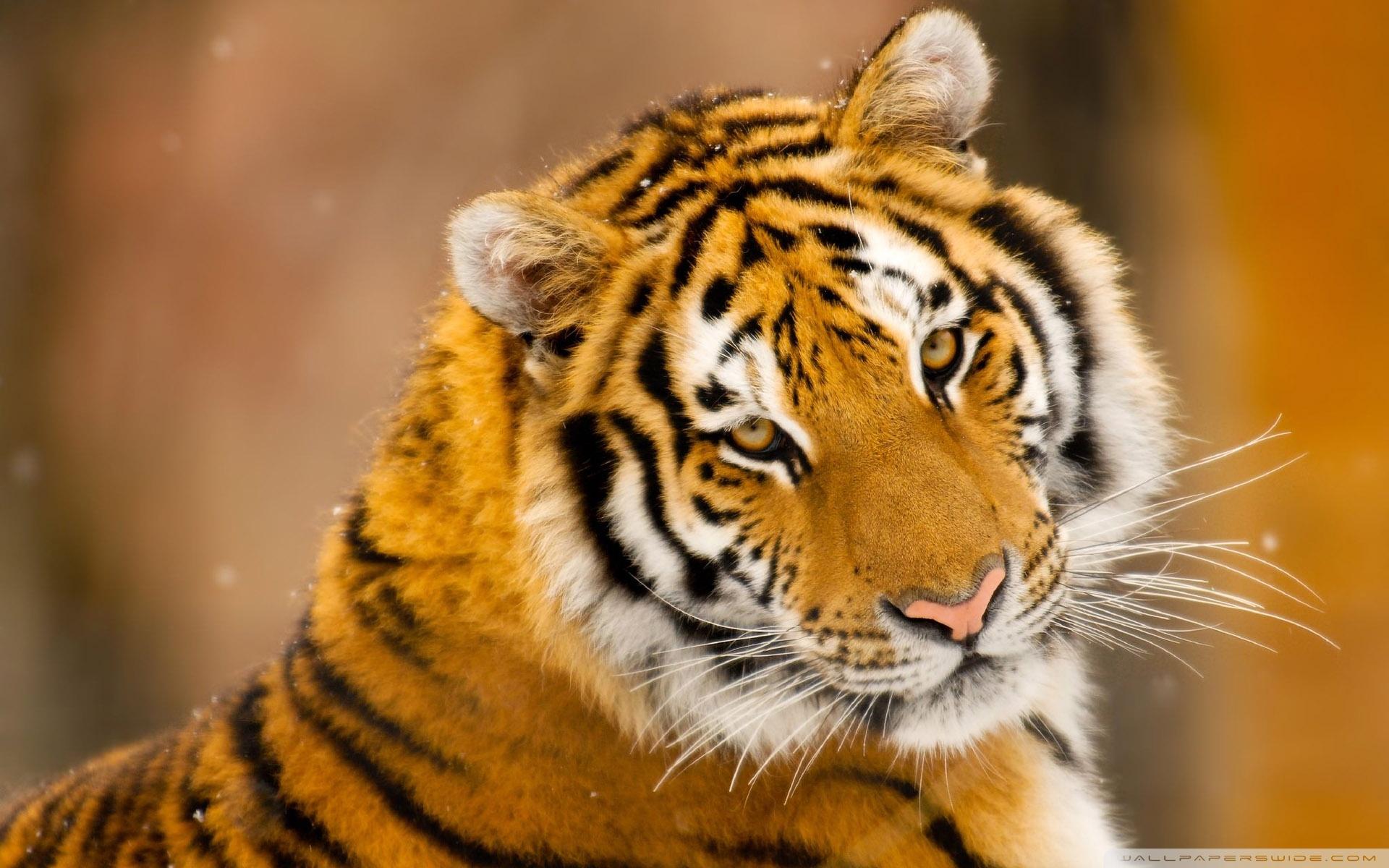 siberian tiger wild animal ❤ uhd desktop wallpaper for ultra hd