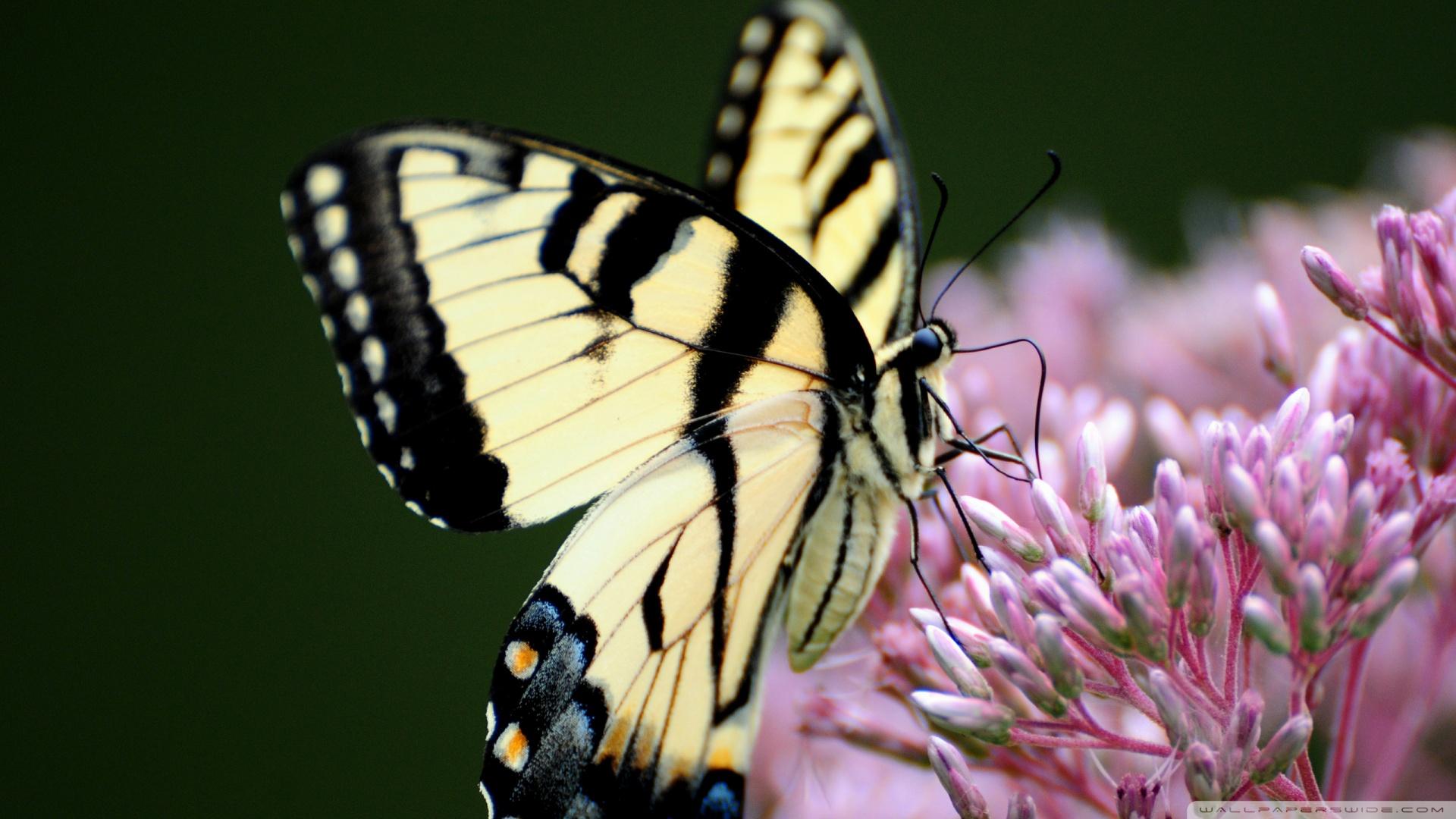 superb butterfly macro ❤ uhd desktop wallpaper for ultra hd 4k 8k