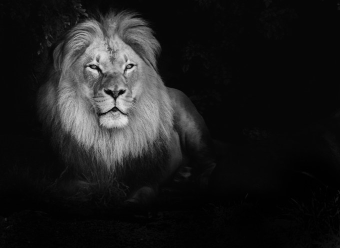 Lion Wallpaper Hd 1080p Iphone Black And White Vinnyoleo